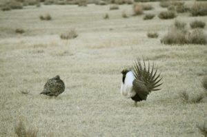 Should I Stay or Should I Go Now? Sage Grouse Ecology, Post-Megafire