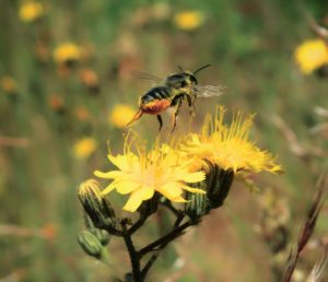 The Influences of Disturbance on Native Pollinators in Eastern Oregon: A Decade of Discovery