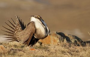 Sage Grouse: Collaboration and Conservation