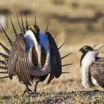 Of Birds and Bugs: Sage Grouse and West Nile Virus